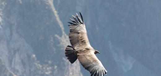 Condor - Colca Canyon