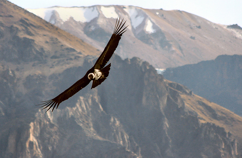 Colca valley , condor on flight
